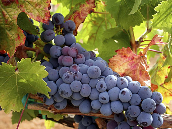 Armenia's ministry of agriculture developing winegrowing strategy