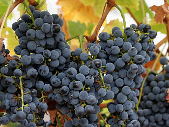 Armenian wine-growers expected to gather 240,000 tons of grape this year
