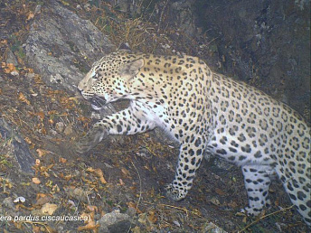 WWF experts prove presence of three Caucasian leopards in southern Armenia
