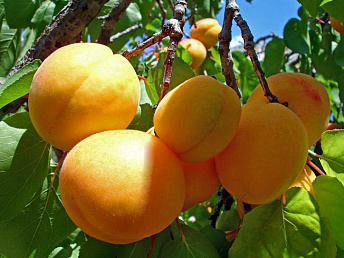 Armenia exports 49 tons of apricots to Georgia
