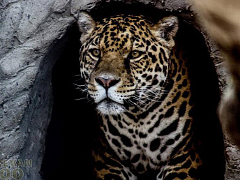 Jaguar: Yerevan Zoo's new arrival