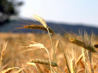Armenia's winter wheat survived December frosts – ministry of agriculture